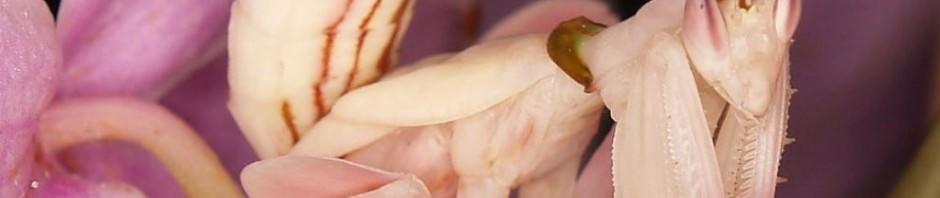 Орхидейный богомол (лат. Hymenopus coronatus)