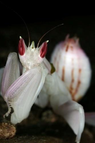 Орхидейный богомол (лат. Hymenopus coronatus) (англ. Orchid Mantis)