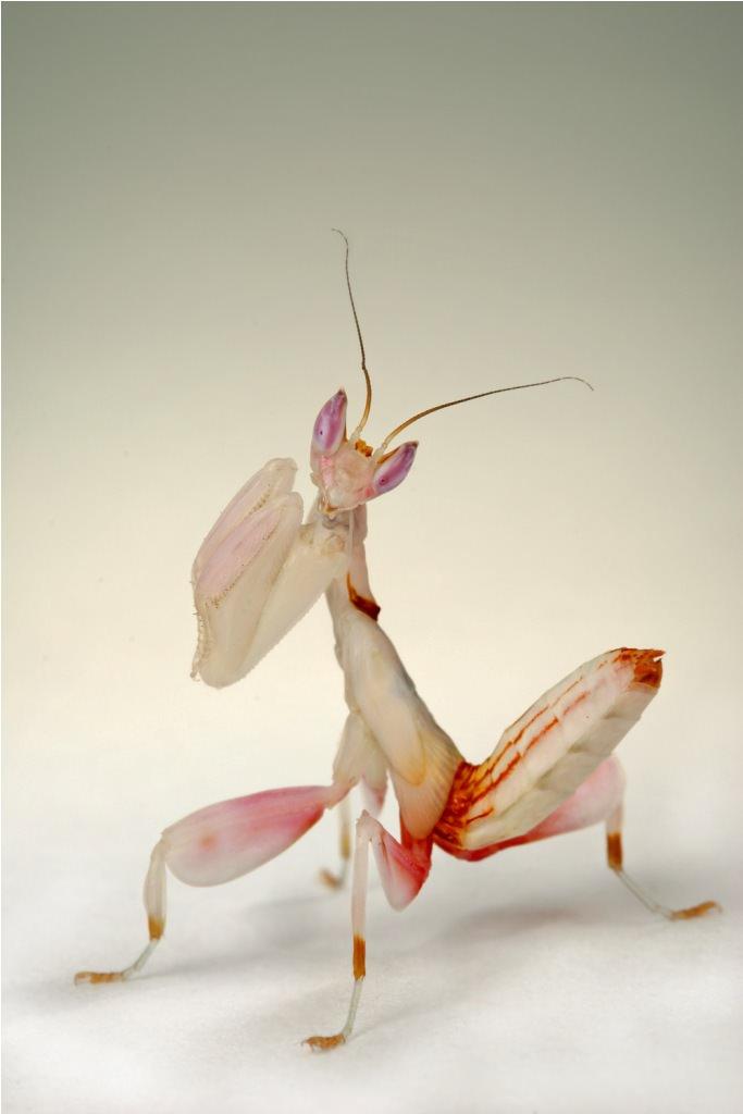 фото орхидейный богомол