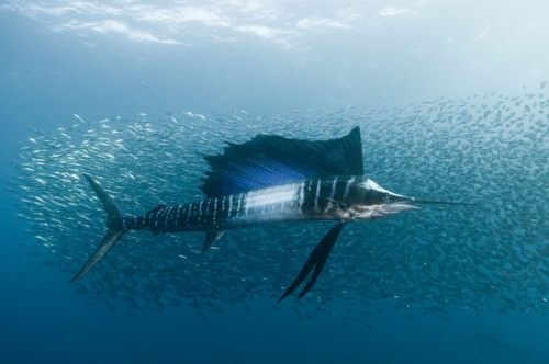 Рыба-парусник (лат. Istiophorus) (англ. Pacific Sailfish)