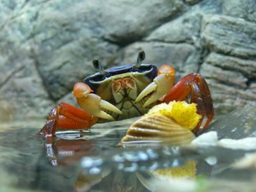 Радужный краб или наземный краб (лат. Cardisoma armatum) (англ. Rainbow crab, Land crab)