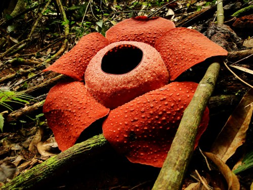 Раффлезия Арнольда (лат. Rafflesia Arnoldii)( англ. Rafflesia Arnoldii)