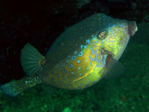 Кузовок-кубик или рыба-коробка (лат. Ostraction cubicus)(англ. Boxfish)