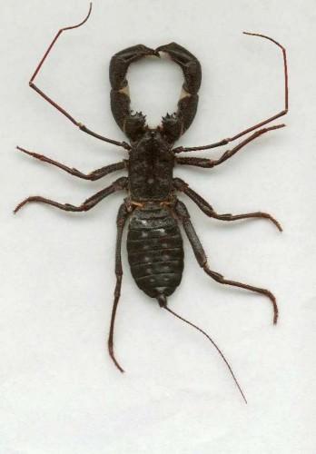Телифоны (лат. Thelyphonidae)