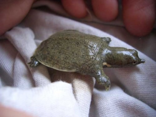Трионикc китайский или дальневосточная черепаха (лат. Trionyx chinensis)