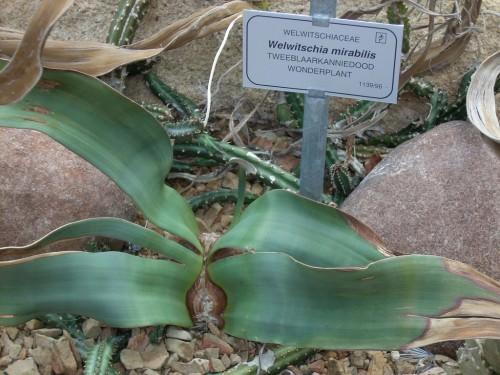 Вельвичия удивительная (лат. Welwitschia mirabilis)