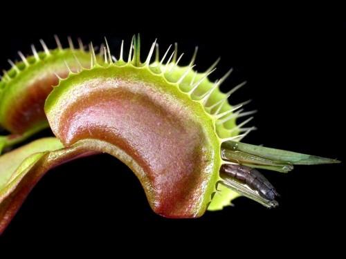 Венерина мухоловка или дионея (лат. Dionaea muscipula) (англ. Venus flytrap)
