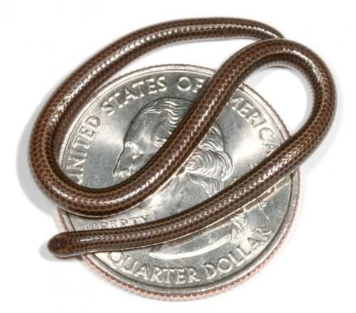 Барбадосская узкоротая змея или змея Карла (лат. Leptotyphlops carlae) (англ.Blind snake)