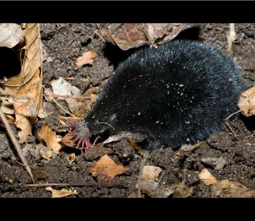 Звездонос или звездорыл (лат. Condylura cristata) (англ. Star-nosed Mole)