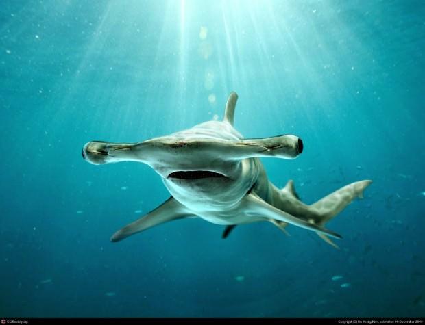 Гигантская акула-молот (лат. Sphyrna mokarran) (англ. Great Hammerhead Shark)