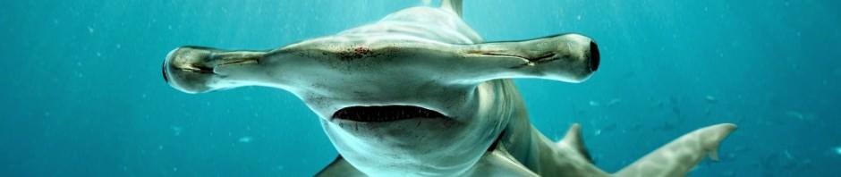 Гигантская акула-молот (лат. Sphyrna mokarran)