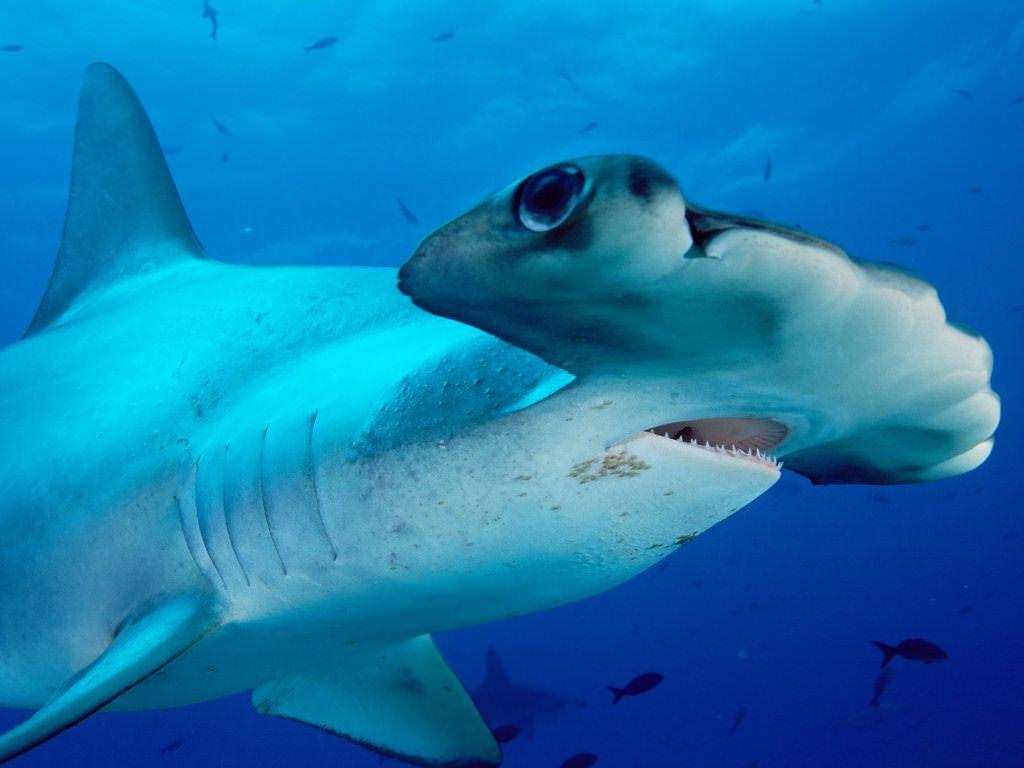 фото акула молот