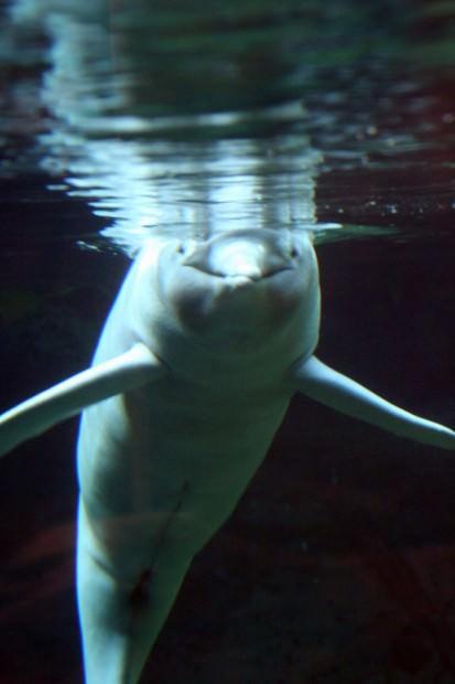 Амазонский дельфин или иния (лат. Inia geoffrensis)(англ. Amazonas Dolphin или River Pink Dolphin)