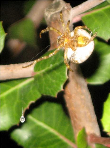Паук Bolas (лат. Mastophora cornigera) (англ. Bolas spider, Bird poop spider)