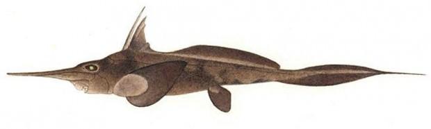 Длинноносая химера (лат. Harriotta raleighana) (англ. Longnose Chimera)