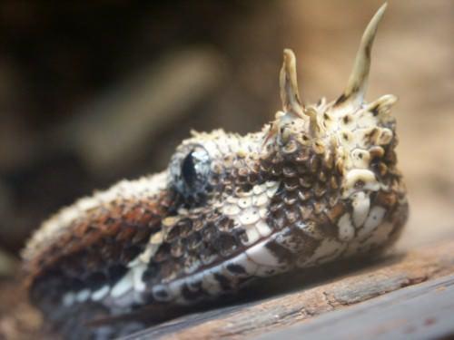 Гадюка-носорог (лат. Bitis nasicornis) (англ. Rhinoceros viper)