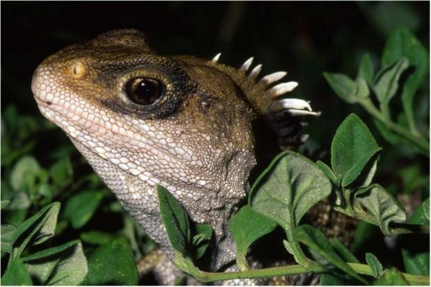 Гаттерия или туатара (лат. Sphenodon punctatus) (англ. Tuatara)