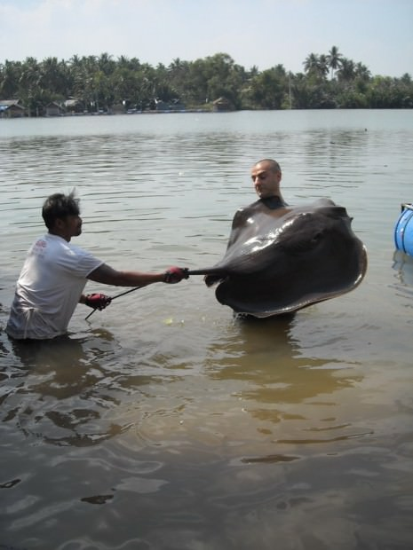 Гигантский пресноводный скат или скат-хвостокол (лат. Himantura Chaophraya) (англ. Giant Freshwater Stingray)