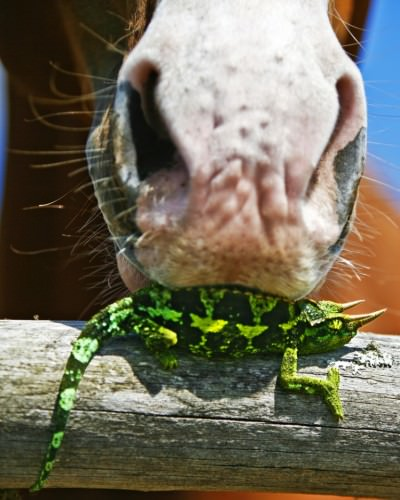 Хамелеон Джексона или трехрогий хамелеон (лат. Chamaeleo Jacksonii) (англ. Jackson's Chameleon)