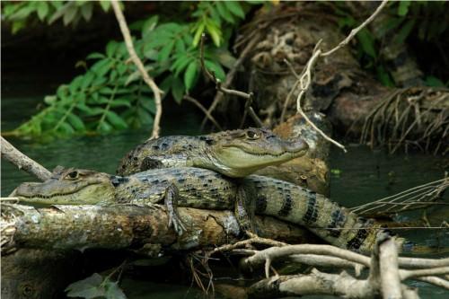 Крокодиловый кайман (лат. Caiman crocodilus) (англ. Caiman)