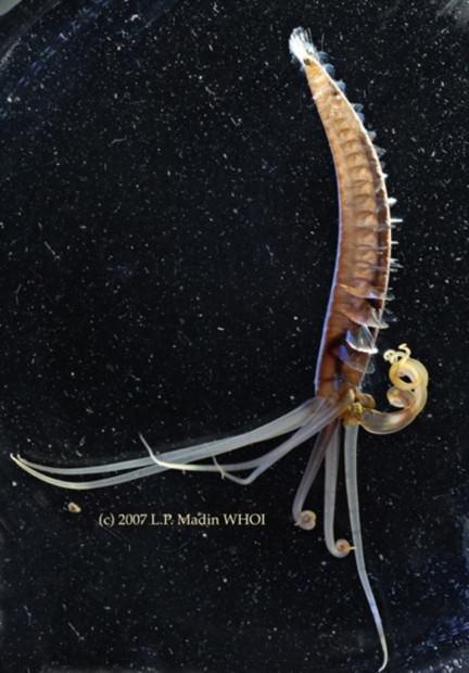 Кальмарочервь Teuthidodrilus samae (лат. Teuthidodrilus samae) (англ. Squidworm)