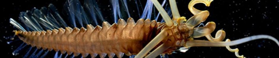 Кальмарочервь Teuthidodrilus samae (лат. Teuthidodrilus samae)