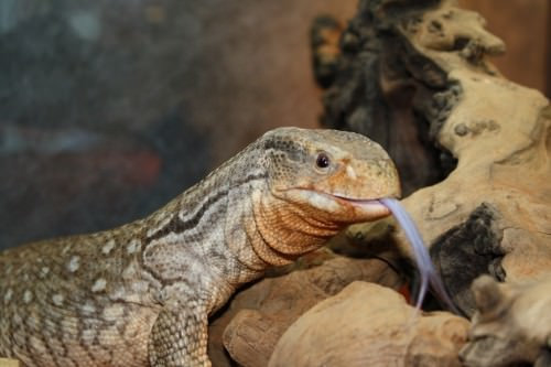 Капский варан или степной варан (лат. Varanus exanthematicus)(англ. Savannah monitor lizard)