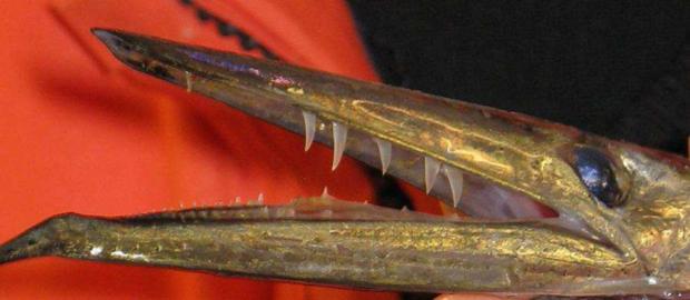 Кинжалозуб (лат. Anotopterus pharao) (англ. Antarctic daggerfish)