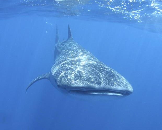 Китовая акула (лат. Rhincodon typus) (англ. Whaleshark)