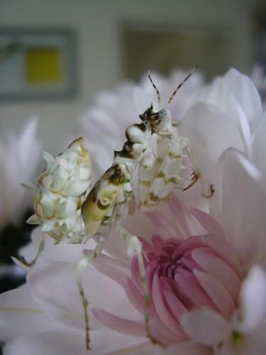 Африканский колючий богомол (лат. Pseudocreobotra ocellata)(англ. African spiny flower mantis)