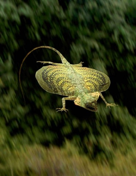 Летучие драконы или летающая ящерица (лат. Draco volans)(англ. Flying dragon lizard)