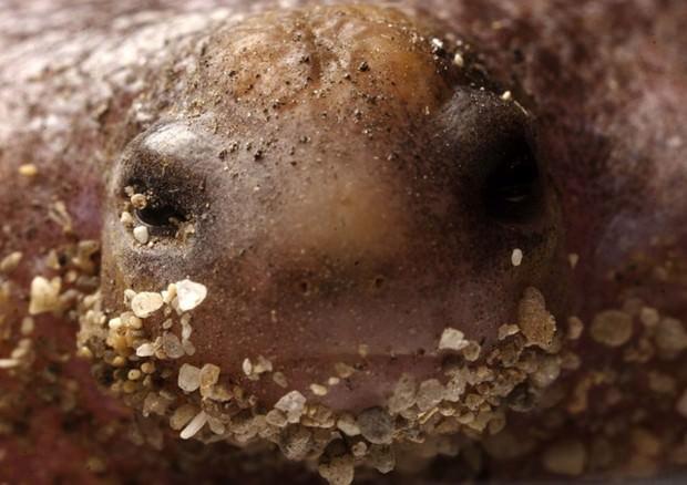 Лягушка-черепаха (лат.  Myobatrachus gouldii) (англ.  Turtle Frog)