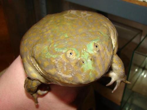Лягушка Баджита обыкновенная или злая щитоспинка (лат. Lepidobatrachus laevis) (англ. Budgett's Frog)