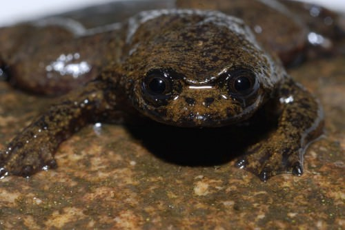 Плоскоголовая лягушка с острова Борнео (лат. Barbourula kalimantanensis) (англ. Bornean Flat-headed Frog)
