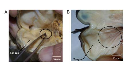 Плоскоголовая лягушка с острова Борнео (лат. Barbourula kalimantanensis) (англ. Bornean Flat-headed Frog)