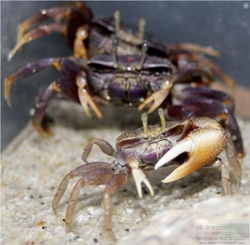 Манящий краб или краб-скрипач (лат. Uca Sp.) (англ. Fiddler crab)