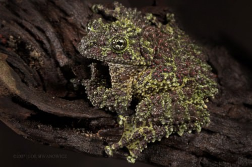 Мшистая лягушка или лишаистый веслоног (лат. Theloderma corticale) (англ. Mossy frog)