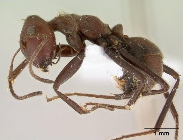 Муравьи-камикадзе или взрывающиеся муравьи (лат. Camponotus saundersi) (англ. Bomb ants)