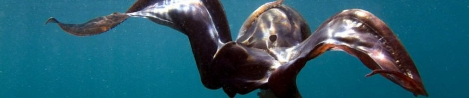 Парящий осьминог или попончатый осьминог (лат. Tremoctopus violaceus)
