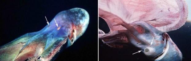 Парящий осьминог или попончатый осьминог (лат. Tremoctopus violaceus) (англ. Blanket Octopus)