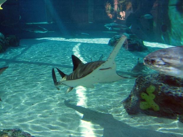 Рыба-пила или обыкновенный пилорыл (лат. Pristis pectinatus) (англ. Sawfish)