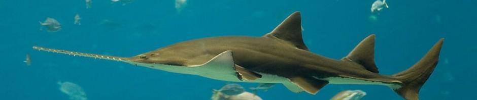 Рыба-пила или обыкновенный пилорыл (лат. Pristis pectinatus)
