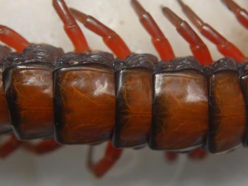 Сколопендра вьетнамская (лат. Scolopendra subspinipes)