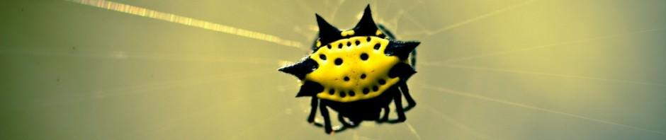 Шипастый паук кругопряд или «рогатый паук» (лат. Gasteracantha cancriformis) (англ. Spiny orb-weaver spider, Horned Spider)