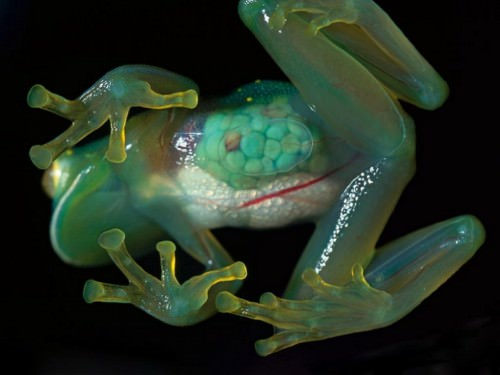 Стеклянная лягушка (лат. Centrolenidae) (англ. Glass frog)