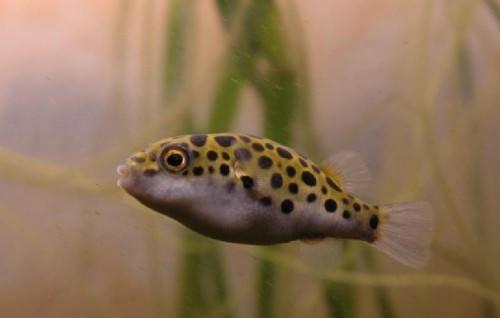 Тетрадон (лат. Tetraodon) (англ. Puffer fish)