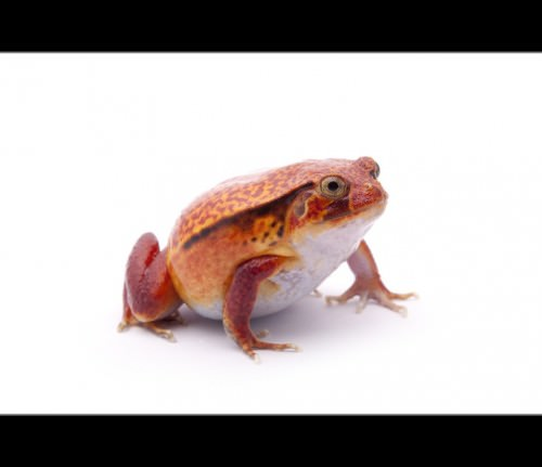 Лягушка-помидор или томатный узкорот (лат. Dyscophus guineti) (англ. Tomato Frog)