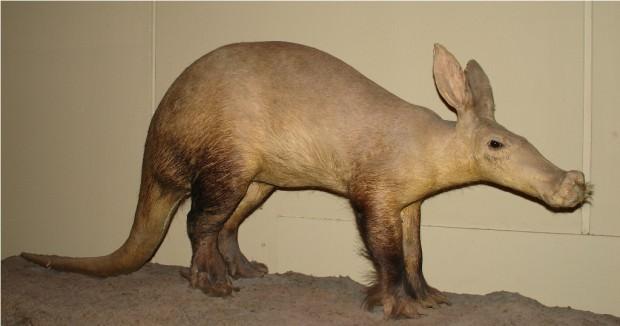 Трубкозуб или африканский (капский) трубкозуб (лат. Orycteropus afer) (англ. Aardvark)