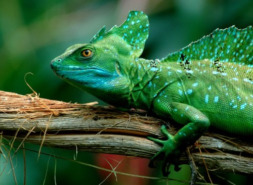 Шлемоносный василиск (лат. Basiliscus basiliscus ) (англ. Jesus Lizard или Basilisk lizard)