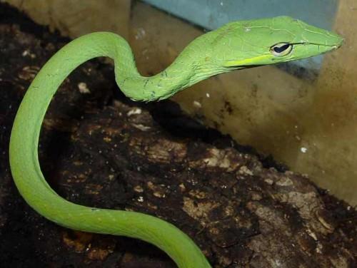 Зеленая плетевидка или травянисто-зеленая плетевидка (лат. Ahaetulla prasinus)(англ. Green vine snake, Long-nosed tree snake)